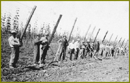 Yarrow men hoeing at Canadian Hop Yards