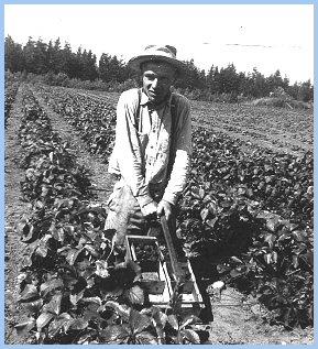 Alvin Wiensz Picking Strawberries